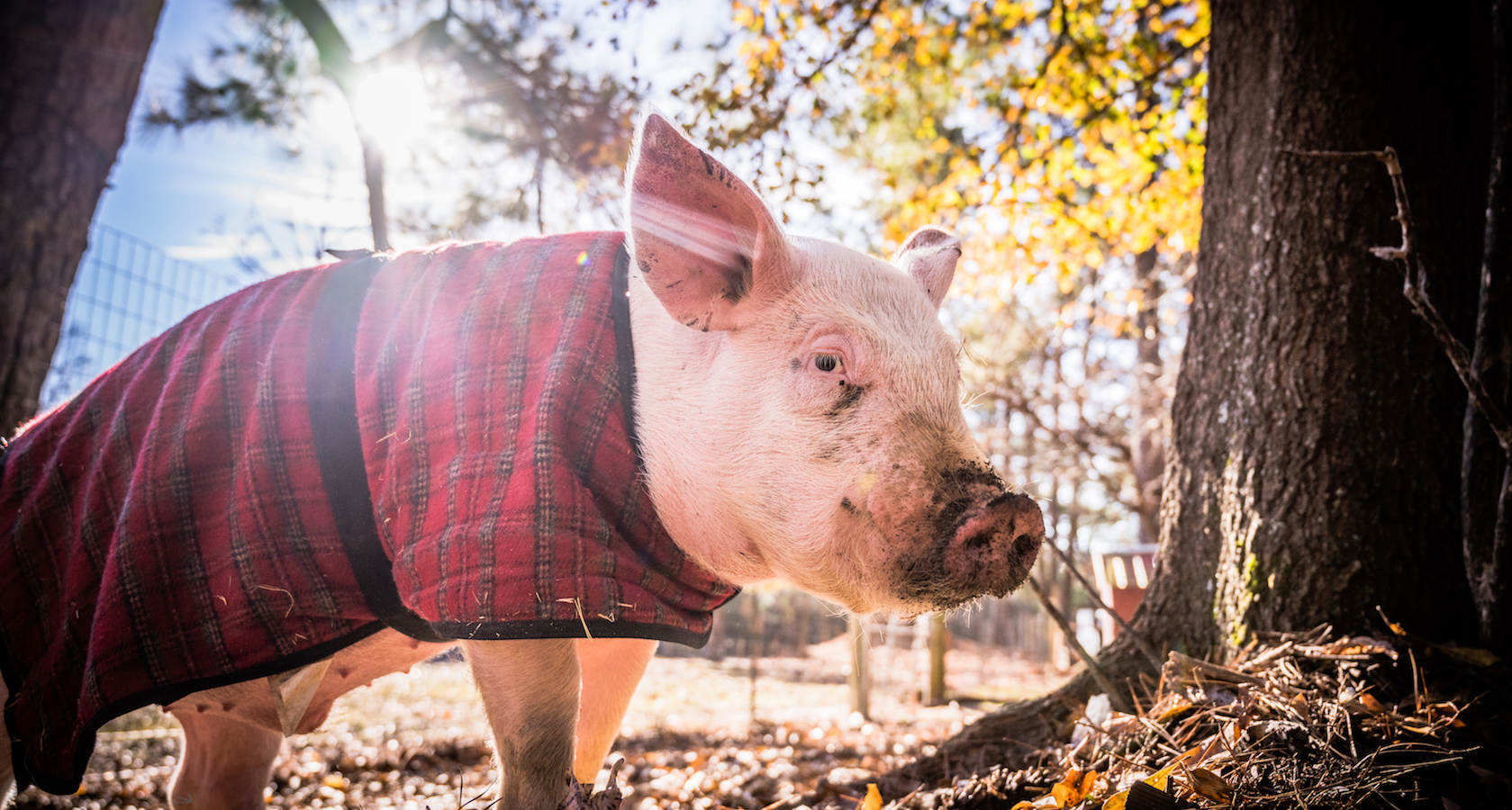 Pig in Plaid